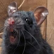 My szczury dziękujemy za dokarmianie